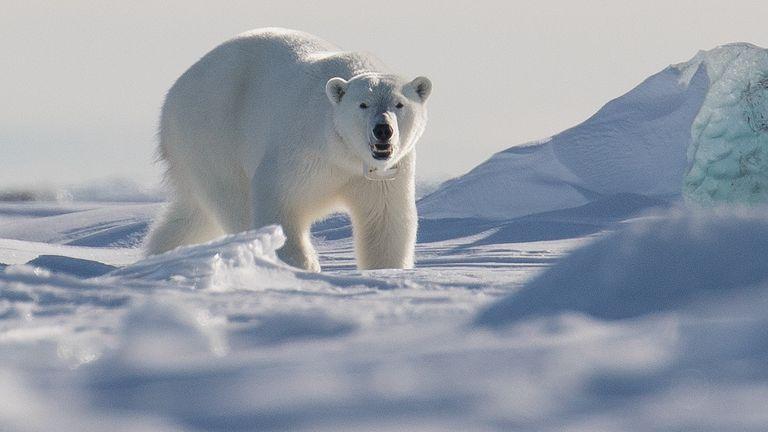 Ours polaire des îles du Svalbard.  Image de fichier