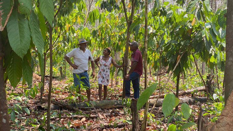 Sur une plantation de cacao en bon état
