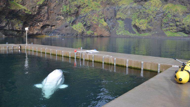 La mission de libérer les bélugas en captivité dans les îles Westman.  Pic: Sky News / Adam Parsons