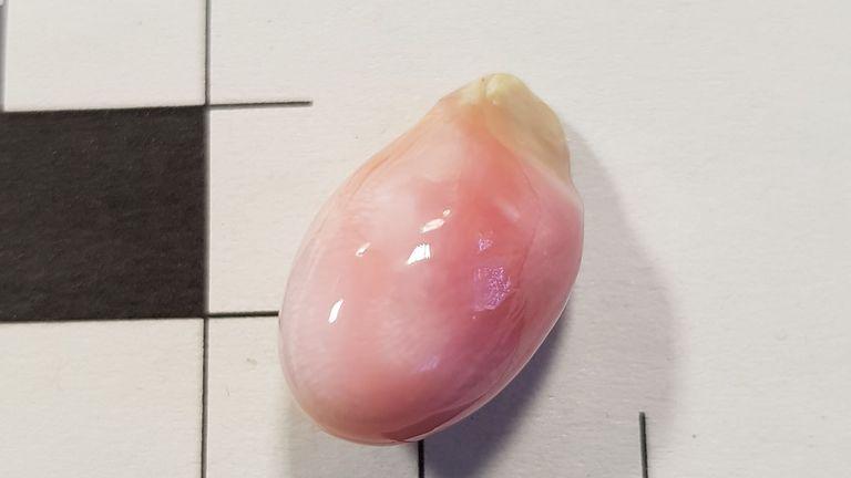 Une perle de lambi