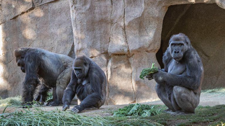 Des études ont montré que certains primates sont sensibles au virus.  Crédit: Christina Simmons / San Diego Zoo Safari Park